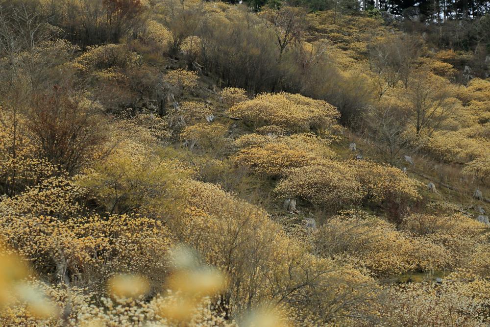 黄花の丘(みつまた)