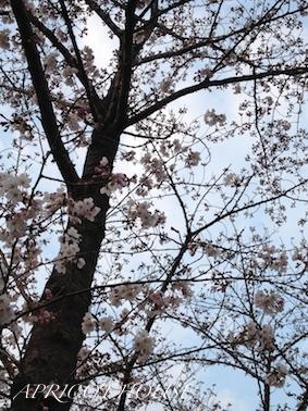 160313桜