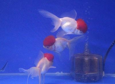 金魚0402-2