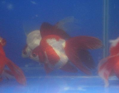 金魚0402-3