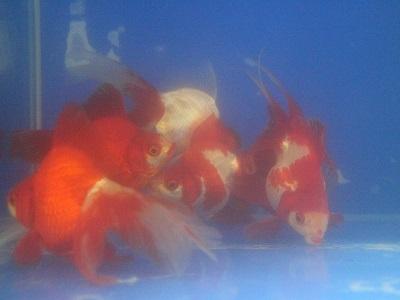 金魚0402-4