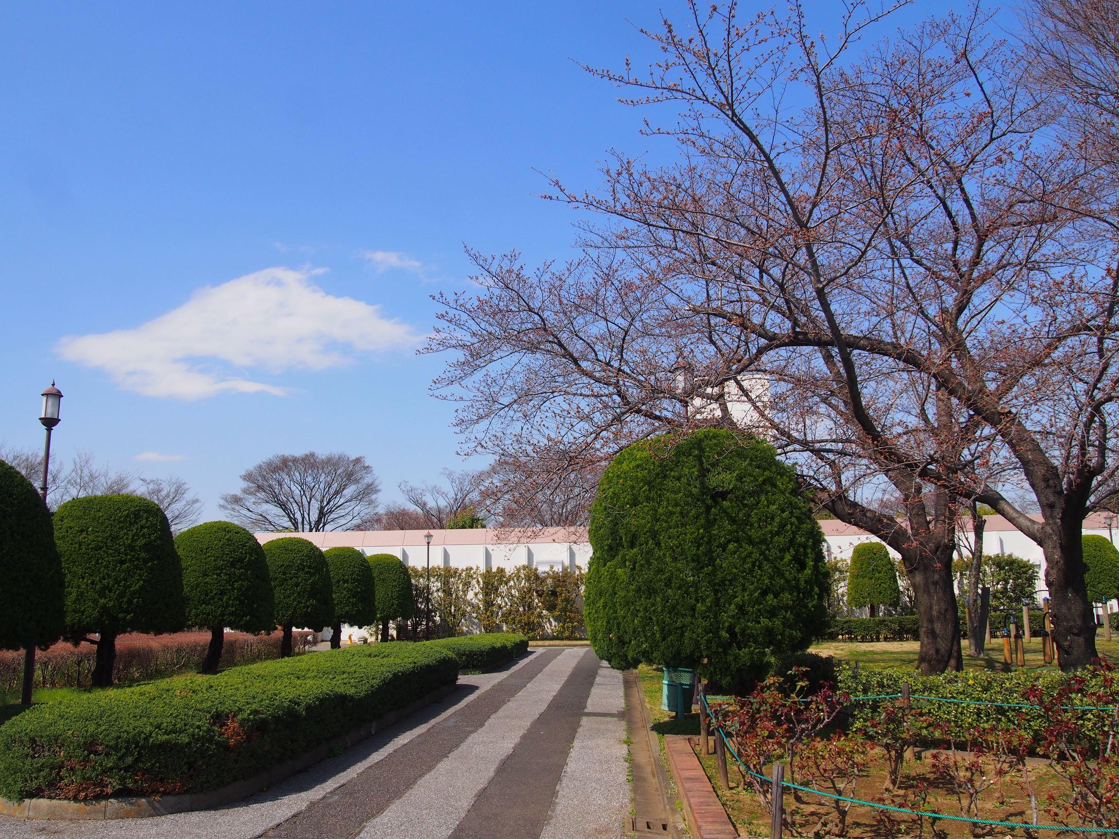160326ソメイヨシノ(健康広場) (2)