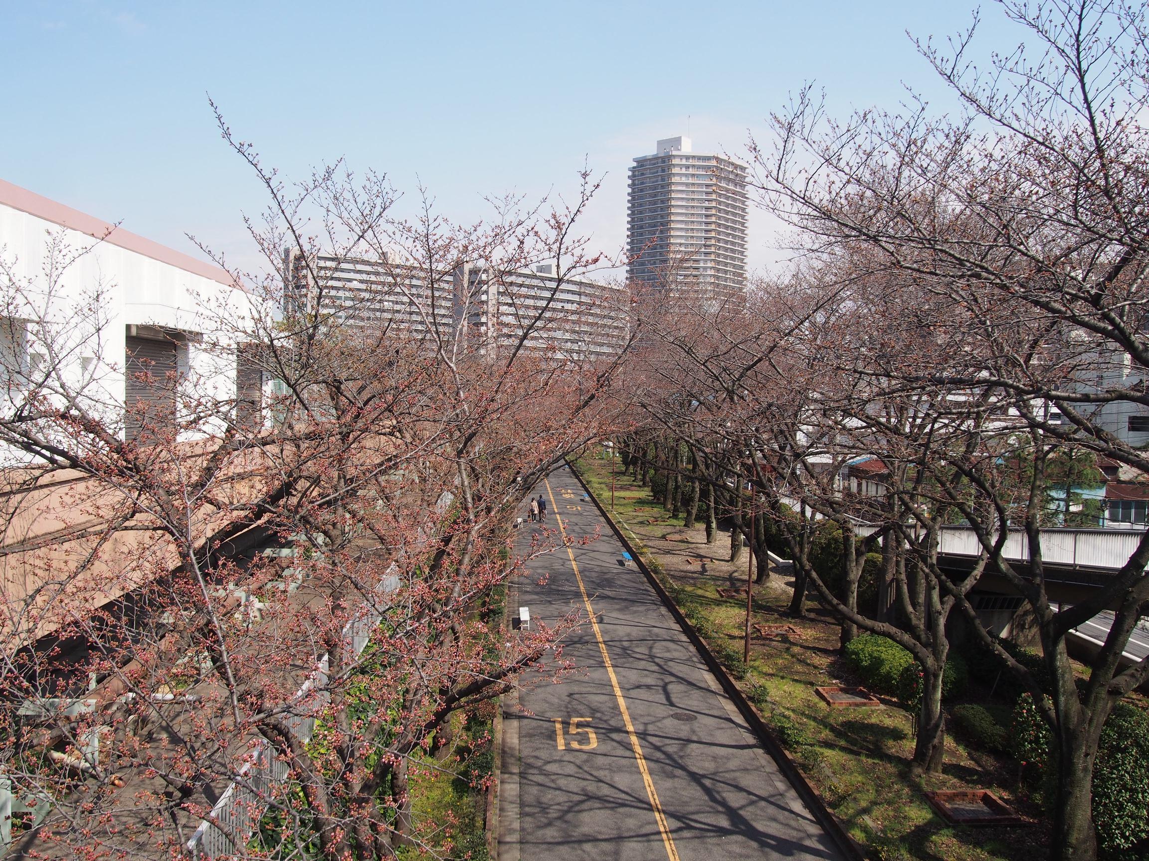 160326ソメイヨシノ(荒川8丁目口) (1)