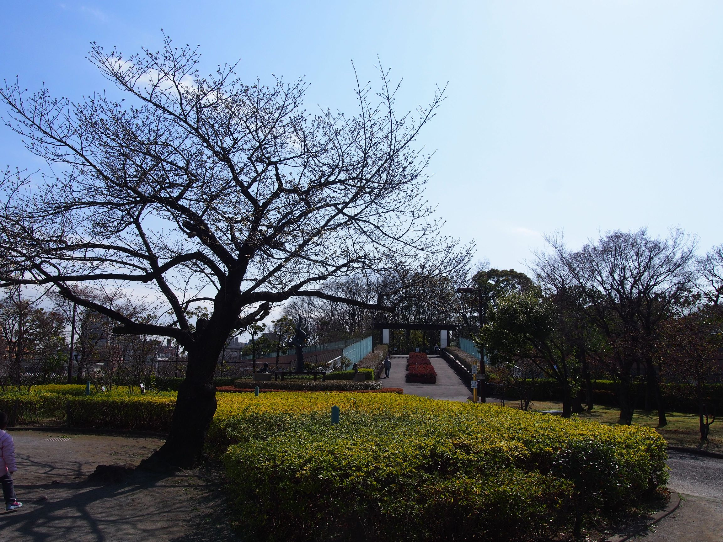 160326オオシマザクラ(児童遊園) (3)