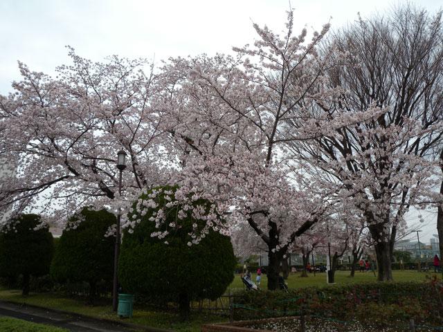 ソメイヨシノ・健康広場