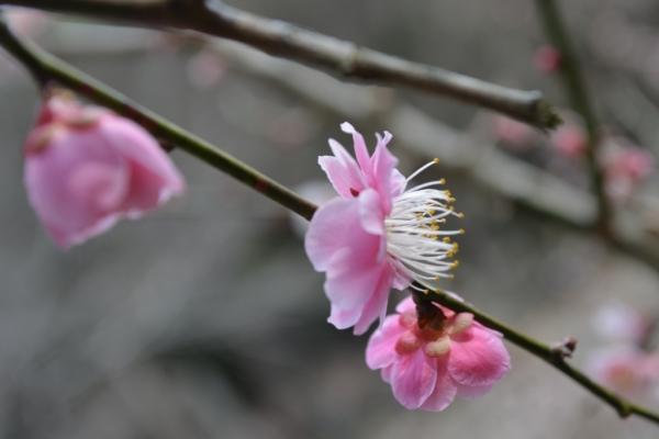 明谷梅園7
