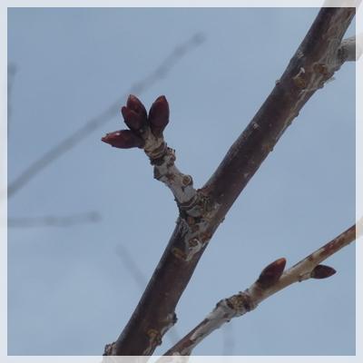 桜 2016年2月21日