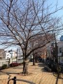 桜の蕾・2a