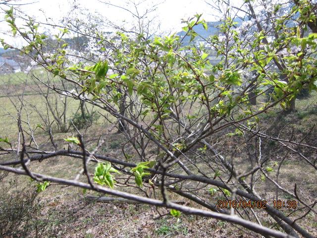 桜のてんぐ巣病