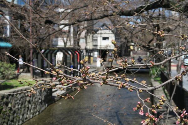 今にも咲きそうな桜
