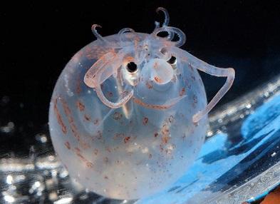 Piglet Squidゴマフホウヅキイカ5