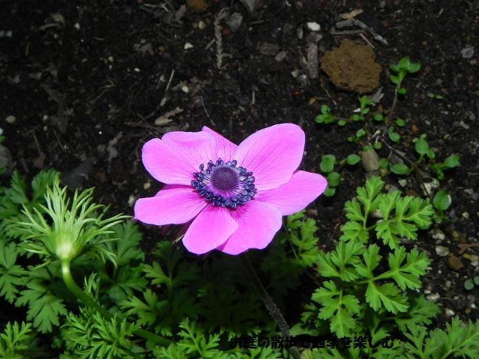 anemone9.jpg