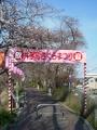 160327恒例の井手町桜まつり