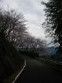 160402大正池和束側の桜