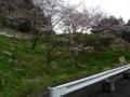 160402大正池和束側の桜、この付近はしだれも