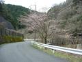 160402大正池井手側の桜、砂防ダム横