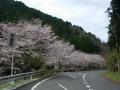 160402大正池井手側の桜、満開に近い区間も