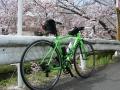 160402井手町桜まつり、COLNAGOと共に