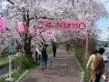 160402井手町桜まつり、先週とは大違いの盛況