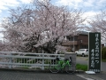 160402玉水橋東詰の桜
