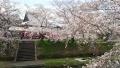 160402井手町桜まつり