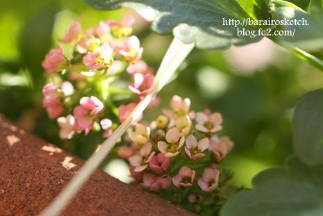 ピンクの寄せ植え05