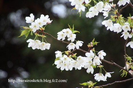 桜散歩21
