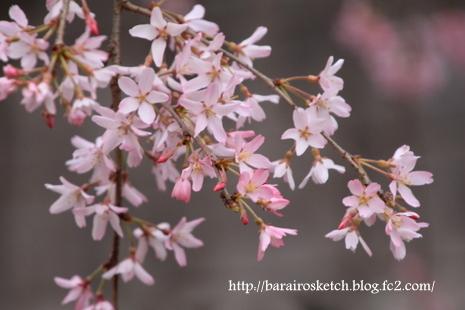 桜散歩25