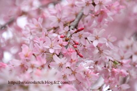 桜散歩26