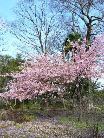 ブログ 桜