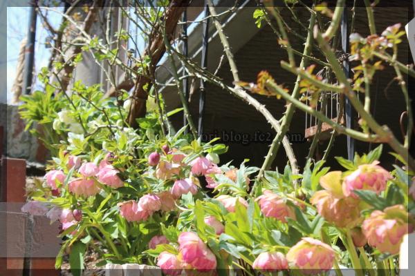 階段 庭の花 クリスマスローズ 20160329