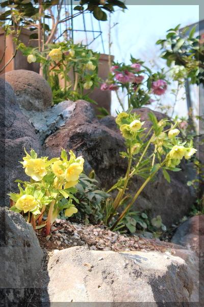 庭の花 クリスマスローズ 20160329