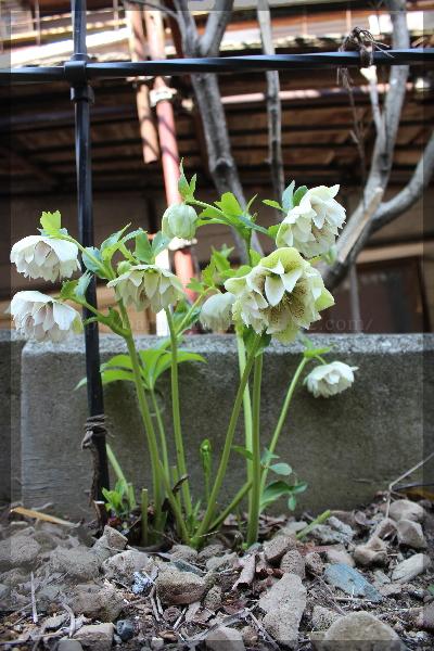 庭の花 20160329 クリスマスローズ 裏
