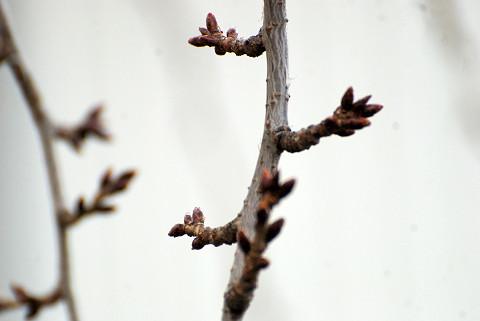 花芽が膨らんで