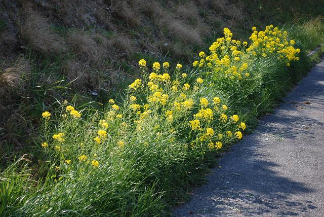 道端に菜の花