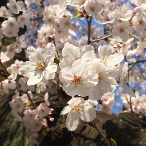 錦糸桜01
