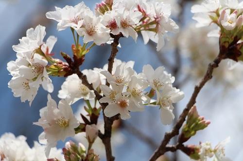 IMG_6526桜