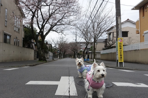 2016sakuragasaitekitane3.jpg