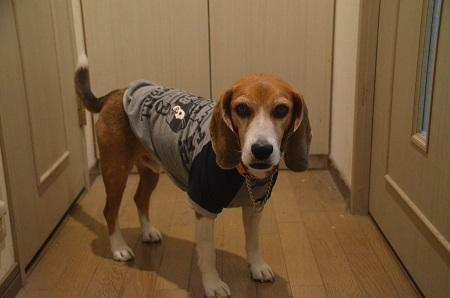 20160211犬服60作31