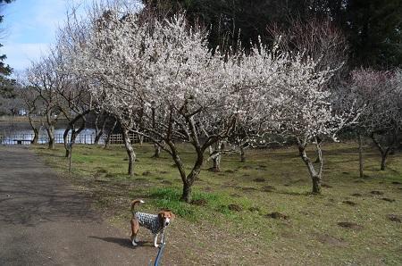 20160225佐倉城址公園29
