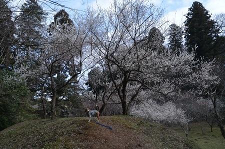 20160225佐倉城址公園28