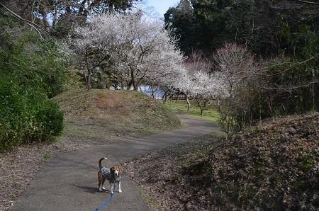 20160225佐倉城址公園27