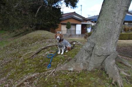 20160225佐倉城址公園32