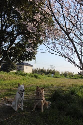 IMG_3683菖蒲
