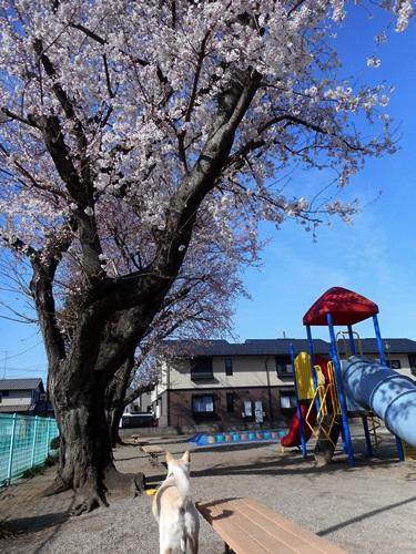 005S桜