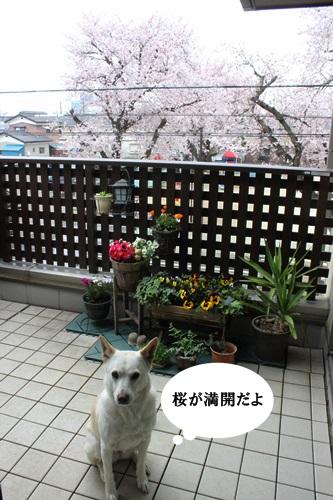 IMG_3727桜
