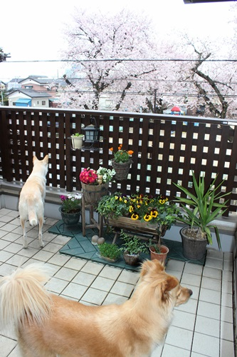 IMG_3731桜
