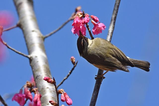カンムリチメドリ(5)