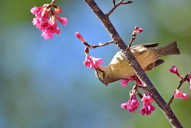 カンムリチメドリ(1)