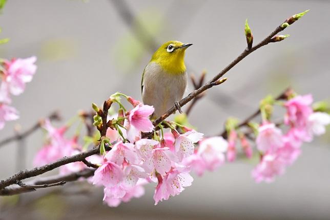 寒桜とメジロ(5)